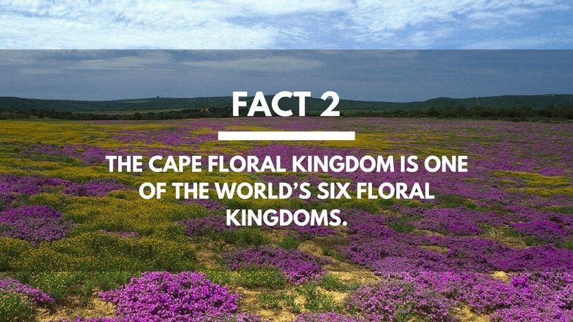 Fact-2-The-Cape-Floral-Kingdom